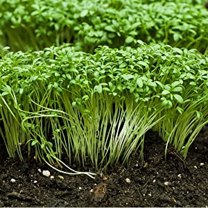 Seeds of Cress Curled (Lepidium Sativum) 1 Gram, Non-GMO Green Herb, Heirlooms, Microgreens for Your Garden, American Seeds for Planting, Seeds for Farm and Homes