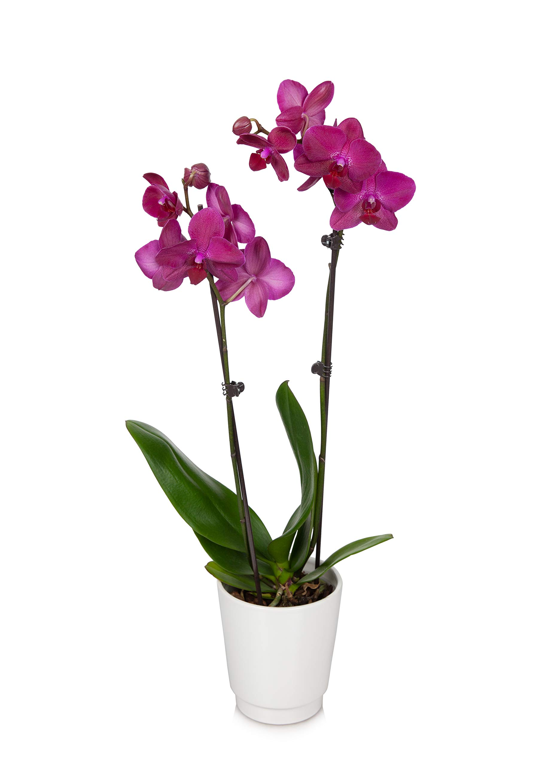 Just Add Ice JAI242 Classic 5'' Orchid, Purple by Just Add Ice