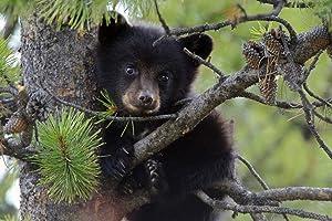 F.Mints Black Bear Cub in a Tree - Art Print Poster,Wall Decor,Home Decor(24x16inches)