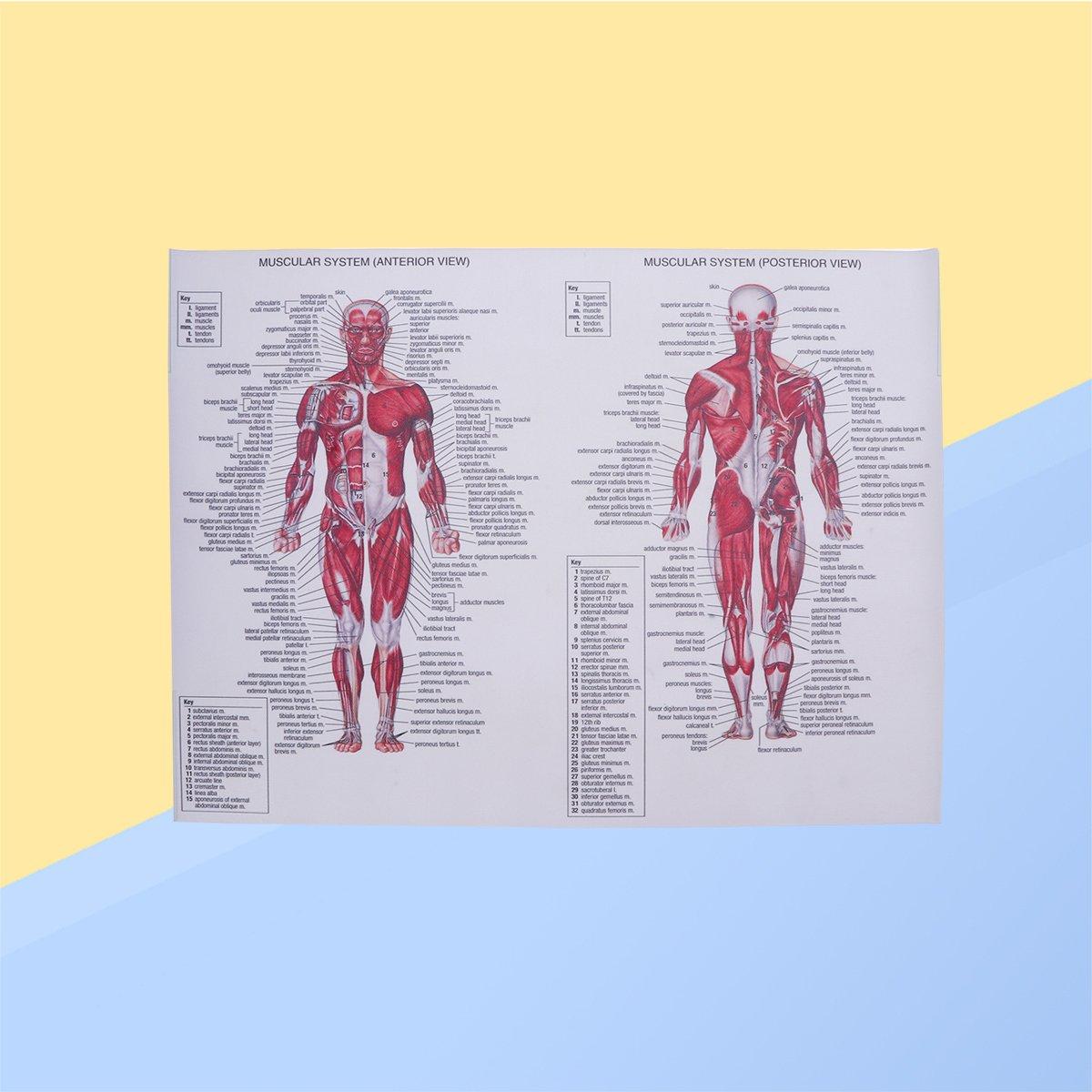UKCOCO Menschlichen Muskulösen System Leinwand Poster Anatomische ...