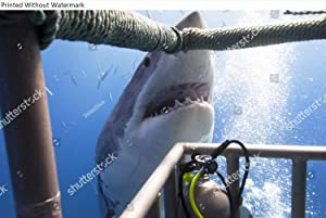 KwikMedia Poster of Great White Shark Showing its Teeth in Front of Divers in a Diving cage.