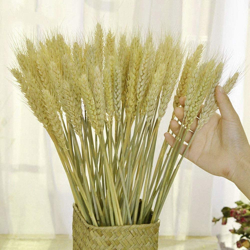 TooGet Dried Wheat Sheaves Stalks Bouquet Bundles, 80 Stems Natural Ear of Wheat Grain Flowers Dry Grass Bunch DIY Arrangements for Home Wedding Store Decorative