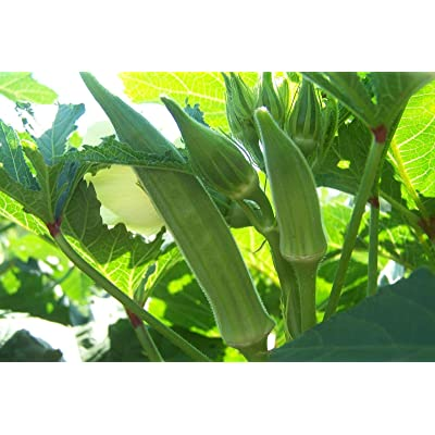 Texas Longhorn Okra Seeds (40 Seed Pack) : Garden & Outdoor