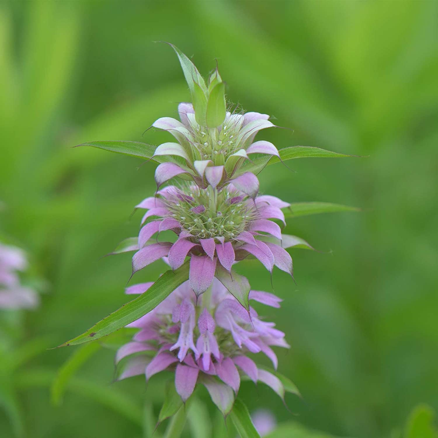 Lemon Mint Herb Garden Seeds - 1 Oz - Non-GMO, Heirloom Culinary Herbal Gardening Seeds - Monarda citriodora