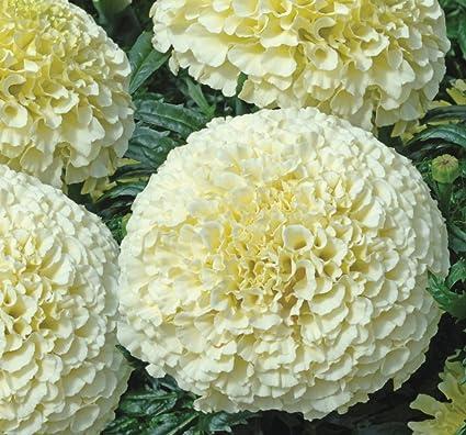 Amazon flowers seeds marigolds erecta white from ukraine flowers seeds marigolds erecta white from ukraine mightylinksfo
