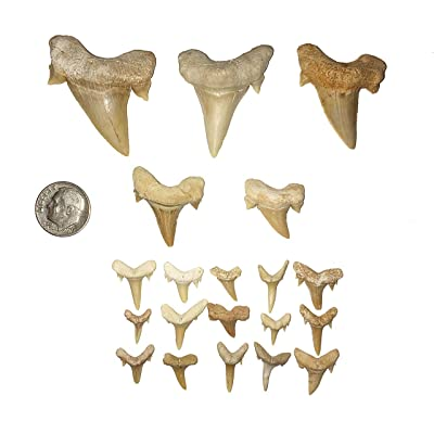goldnuggetminer Shark Tooth Collection - Includes 3 Large, 2 Medium, and 15 Small Moroccan Shark Teeth!: Toys & Games [5Bkhe1204234]