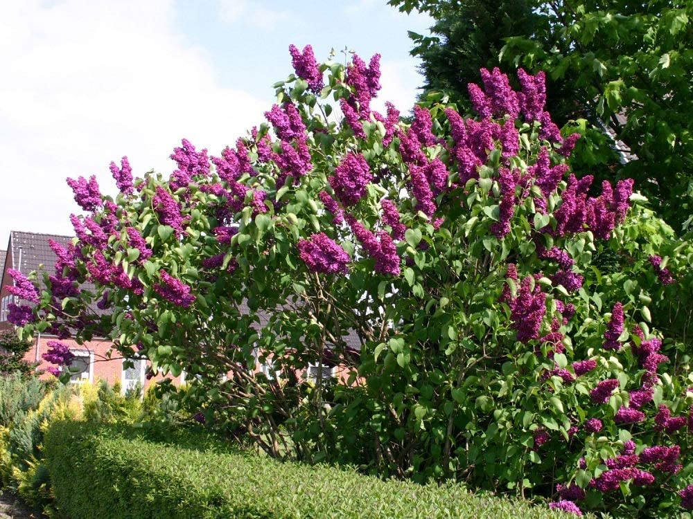 40 Semillas de Lilac (Syringa Vulgaris): Amazon.es: Jardín
