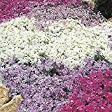Pack x6 Creeping Phlox Subulata 'Mixed Varieties' Perennial Garden Plug Plants