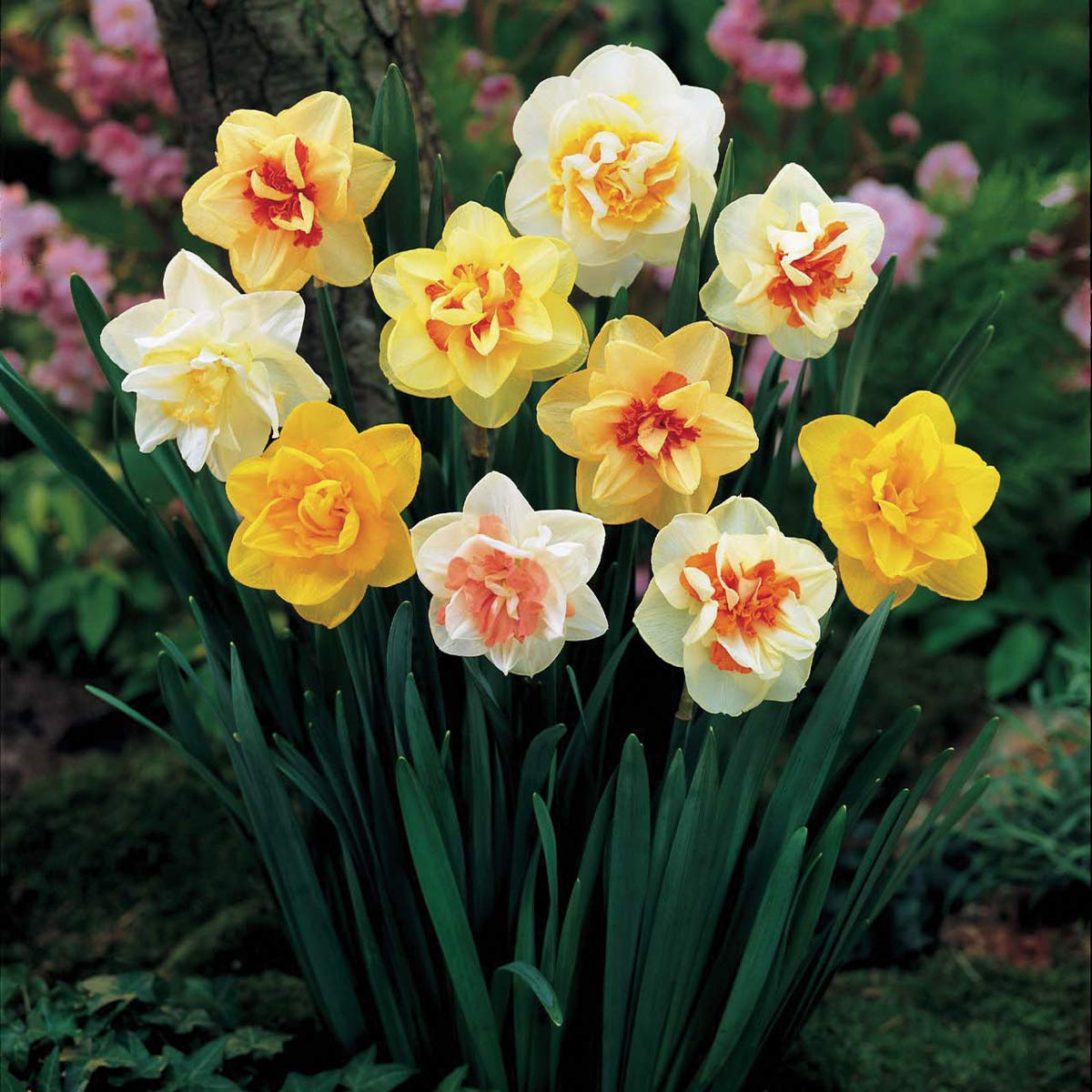 Burpee Double Mix Daffodil | 12 Large Flowering Fall Bulbs for Planting, Multiple Colors by Burpee