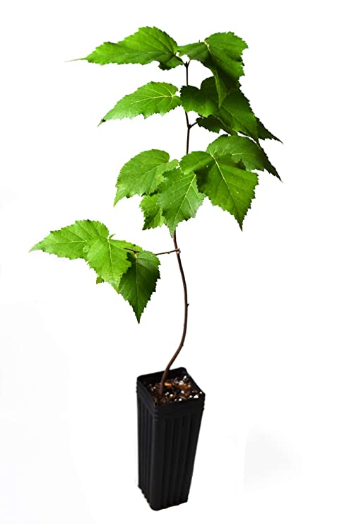 0239523102e Amazon.com  TreesAgain Potted White Birch Tree - Betula papyrifera - 12+  inches (See State Restrictions)  Garden   Outdoor