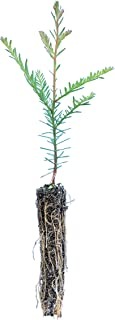 product image for Coast Redwood | Small Tree Seedling | The Jonsteen Company