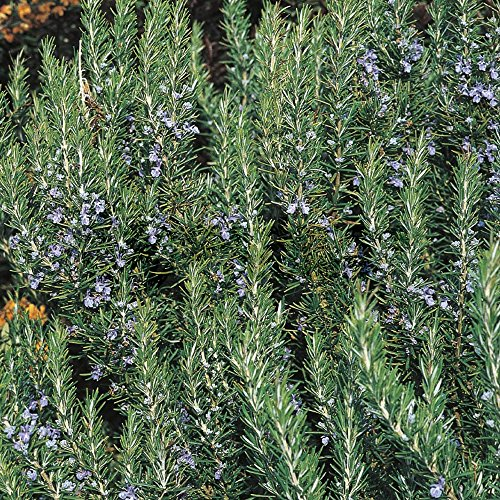 AMERICAN PLANT EXCHANGE Tuscan Blue Rosemary Live, 1 Gallon, Cooking Spice by AMERICAN PLANT EXCHANGE (Image #1)