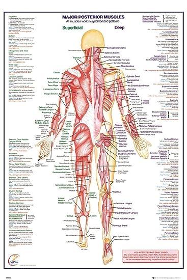 Grindstore Laminiert Maxi Poster Menschlicher Körper wichtigste ...