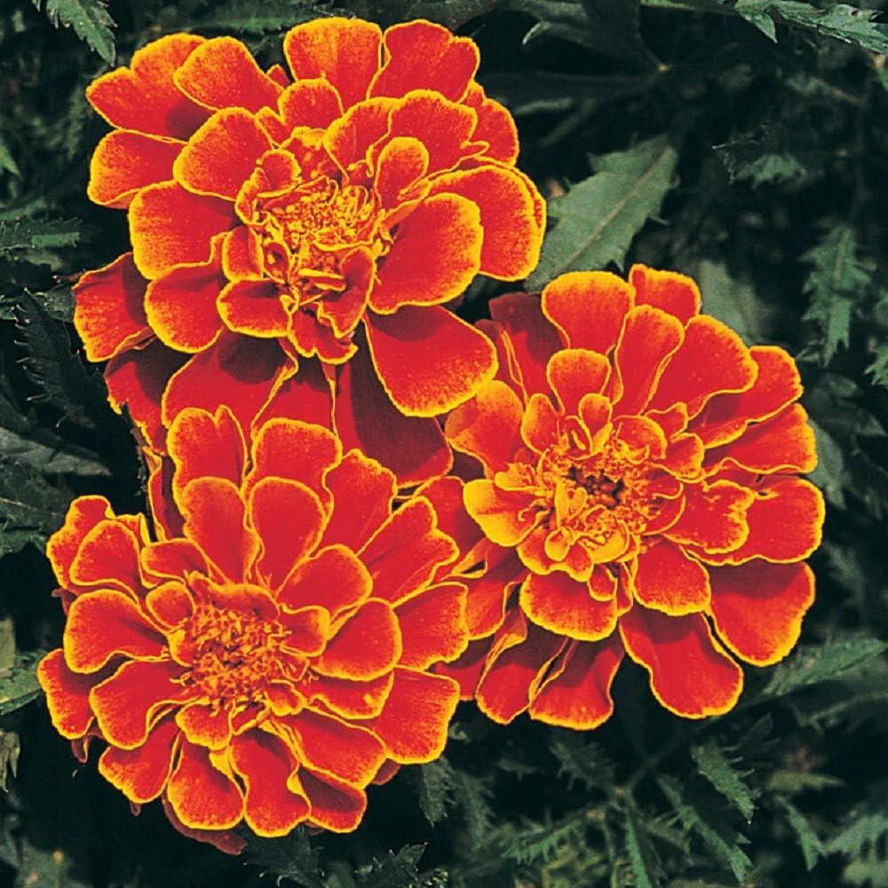 David's Garden Seeds Flower Marigold Queen Sophia 1278 (Orange) 100 Non-GMO, Heirloom Seeds