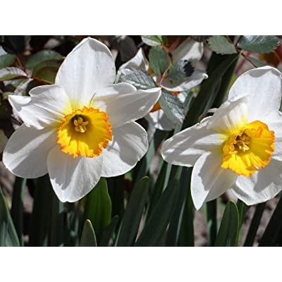Narcissus (Daffodils) Avalanche - 10 Very Large Bulbs - 17+ cm : Grocery & Gourmet Food