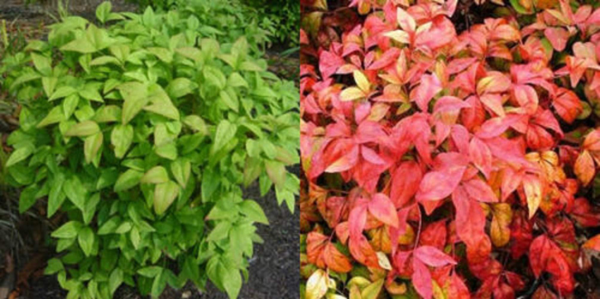 10 Plants Dwarf Nandina Firepower N1 by owzoneplant (Image #2)