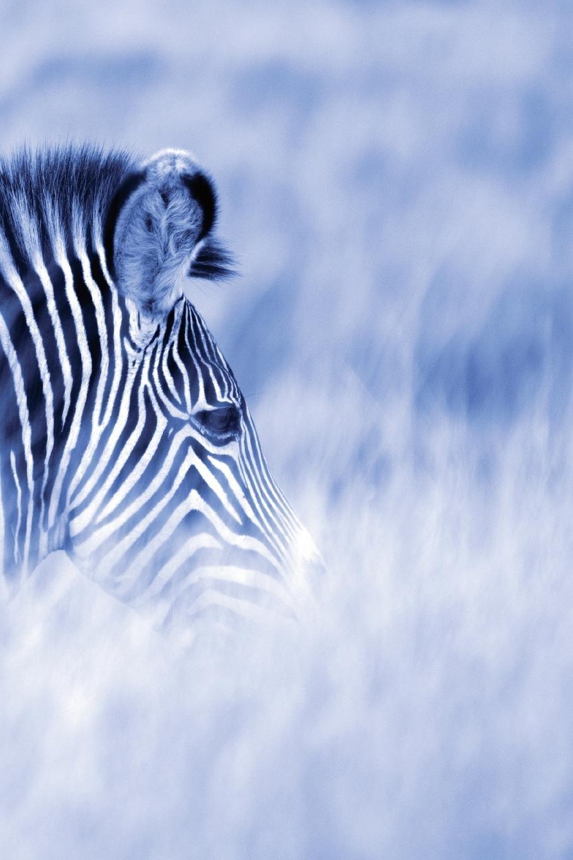 Alive! zebra stripes - Blue duotone - Photo Art Notebooks (6 x 9 series) PDF
