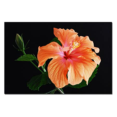 Peach Hibiscus on Black by Kurt Shaffer, 22×32-Inch Canvas Wall Art
