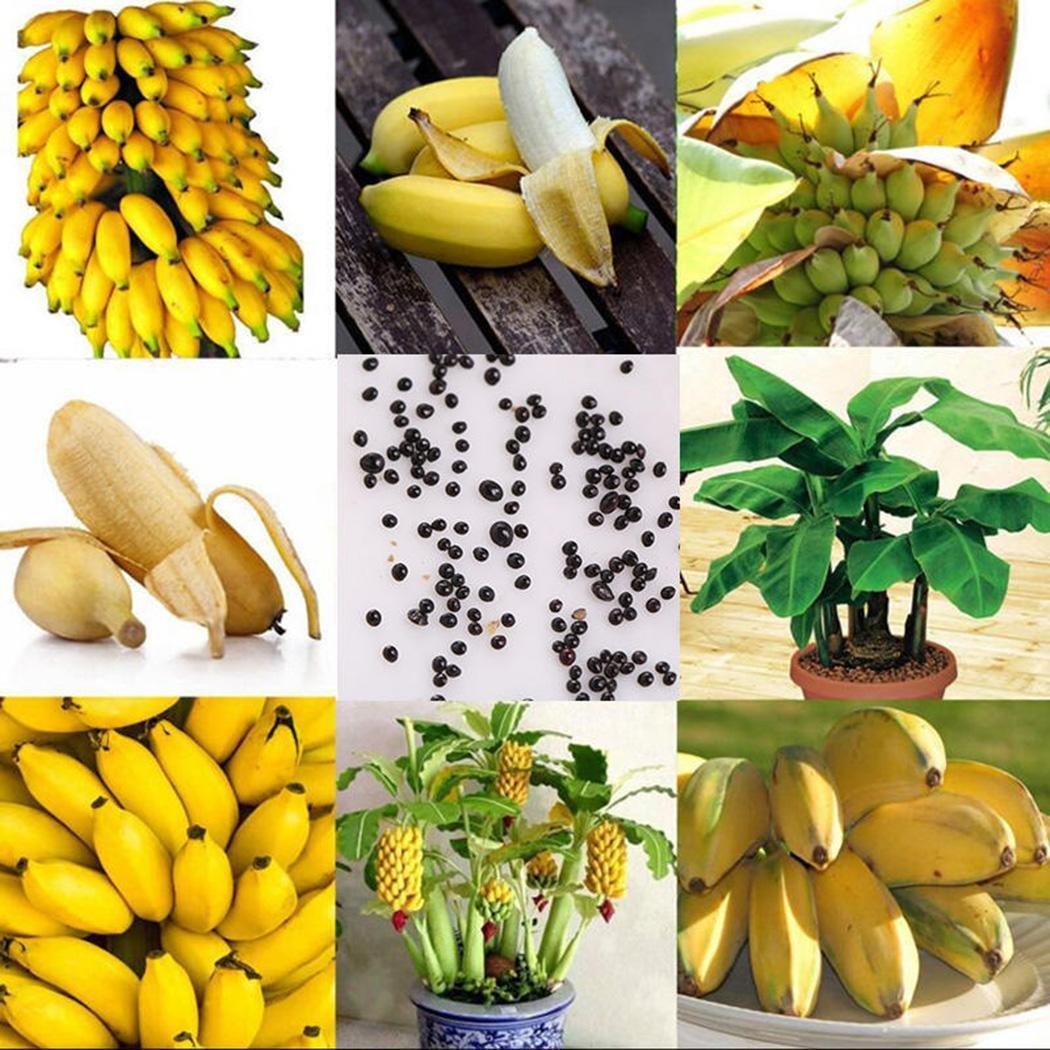 Balcon Interior Jardin Lonlier Semillas de Pl/átano Mini Semillas Banana Enano Bonsai Semillas Fruta Arboles Raras para Huerto