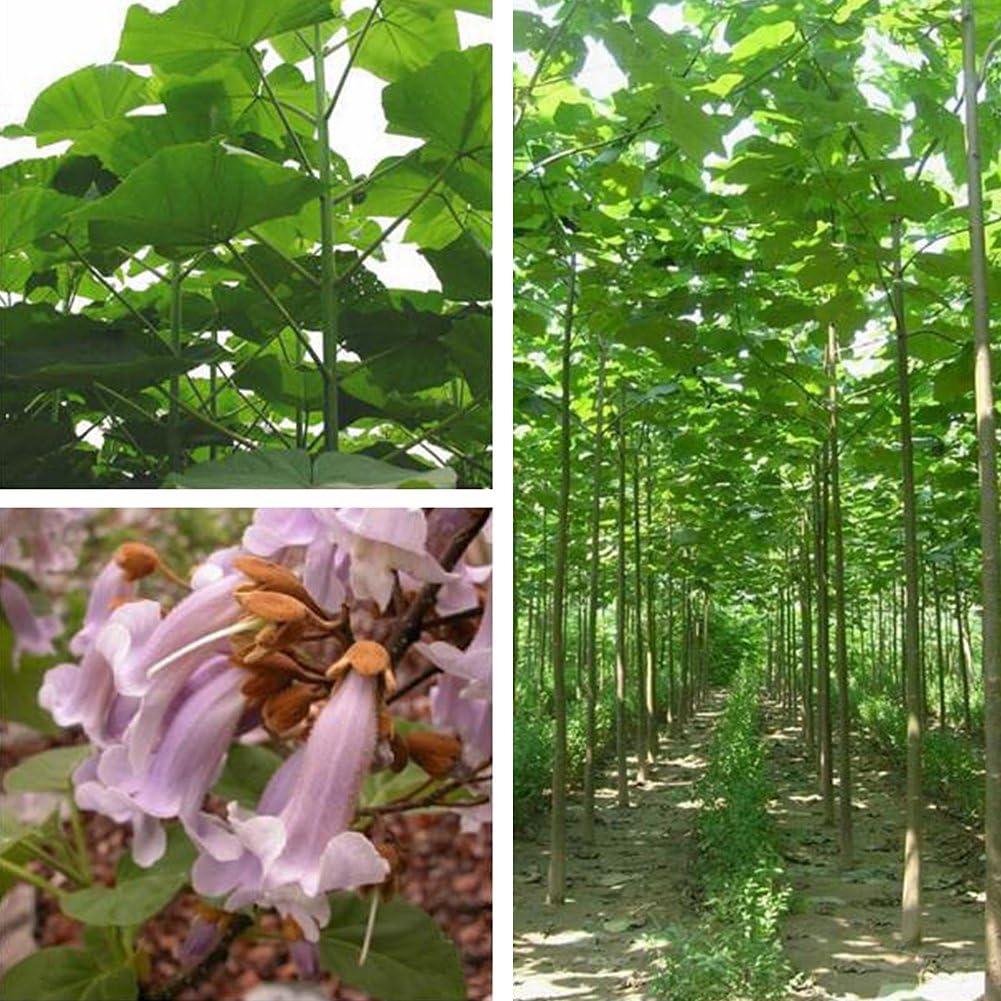 clifcragrocl Semillas 100Unidades Paulownia elongata Semillas Bosque en Crecimiento rápido árbol casa jardín Plantas–Semillas Paulownia