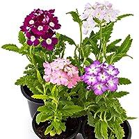 Pack de 4 Verbena Hybrida Plantas de Exterior con Flores de Colores Pack Ahorro de Plantas de Exterior