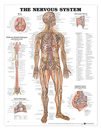 Amazon.com: The Human Nervous System Chart: Health & Personal Care
