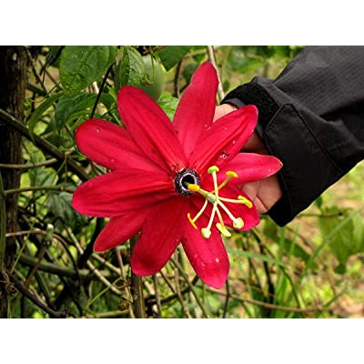 True Source Seeds - Huge RED Banana Passion Vine Passiflora Antioquinensis Climbing Rare 3 Seeds : Garden & Outdoor
