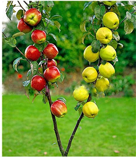 30 pcs Dwarf Apple Seeds Sweet organic fruit Bonsai seeds
