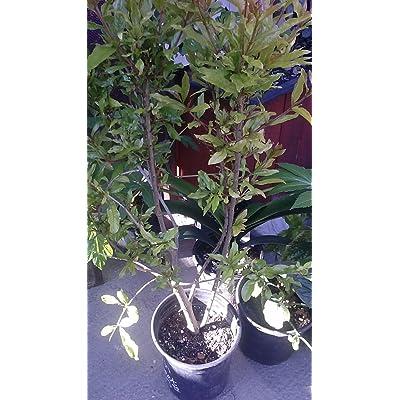 9EzTropical - Pomegranate Utah Sweet Fruit Tree - 3 Feet Tall - Ship in 1 Gal Pot : Garden & Outdoor