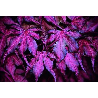 "ADB Inc Tree Seeds 20pcs ""Purple Ghost"" Japanese Maple Seed : Garden & Outdoor"
