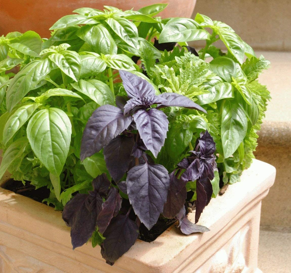 Indoor Basil Mix Leaf Seeds Vegetable for Planting Giant Organic Non GMO 300 Seeds