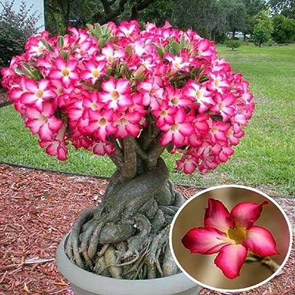Amazon 1pcs red desert rose flower seeds garden adenium obesum 1pcs red desert rose flower seeds garden adenium obesum succulent potted plant red desert rose mightylinksfo