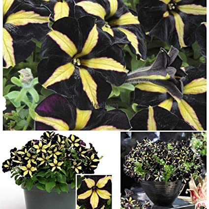 Amazon com : 200pcs Black Petunia Seeds Garden Plant Potted