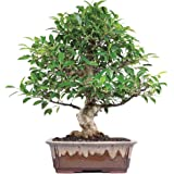 Brussel's Golden Gate Ficus Bonsai (Colors may vary)