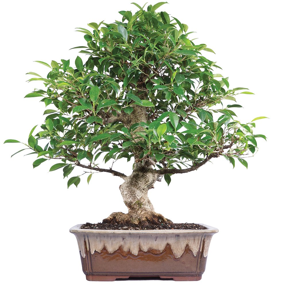 Bonsai Wiring Styles Brussels Live Golden Gate Ficus Indoor Tree 15 Years Old 18 To 22 Tall With Decorative Container Garden Outdoor