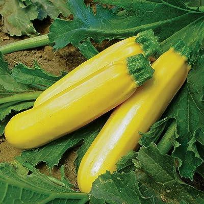 25 Golden Zucchini Summer Squash Seeds #SE03 : Garden & Outdoor