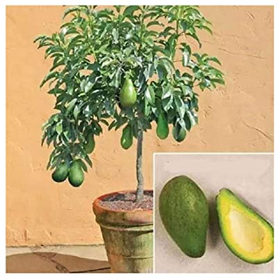Qenci Avocado Seeds, Mini Bonsai Tropical Fruit Tree Seeds Exotic Home Garden Plants Seeds (Avocado/10Pcs) : Garden & Outdoor