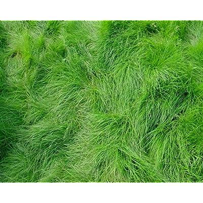 Creeping Red Fescue Lawn Grass Seeds, 1 Pound : Garden & Outdoor