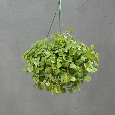 "Live Creeping Charlie aka Glechoma hederacea Hanging Foliage Plant Fit 4"" Pot : Garden & Outdoor"
