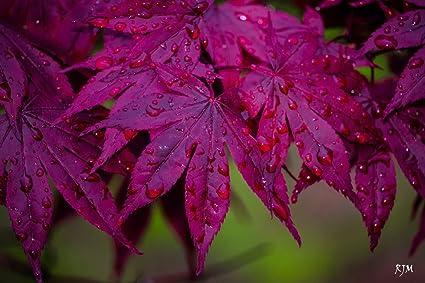 Amazon Com Bloodgood Japanese Maple Acer Palmatum Bloodgood