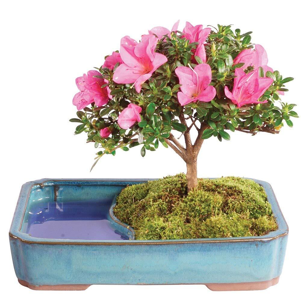 Brussel's Bonsai Live Satzuki Azalea Outdoor Bonsai Tree in Water Pot - 4 Years Old; 8'' to 10'' Tall