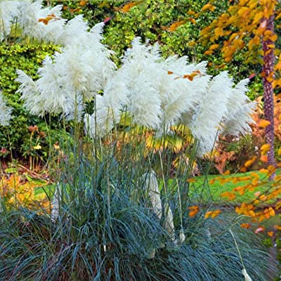 fercisi Colorful Pampas Grass Seeds Home Garden DIY Plants Easy Grow Dresses: Clothing