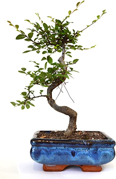 Amazon Com 9greenbox Chinese Elm Bonsai Tree Grocery Gourmet Food