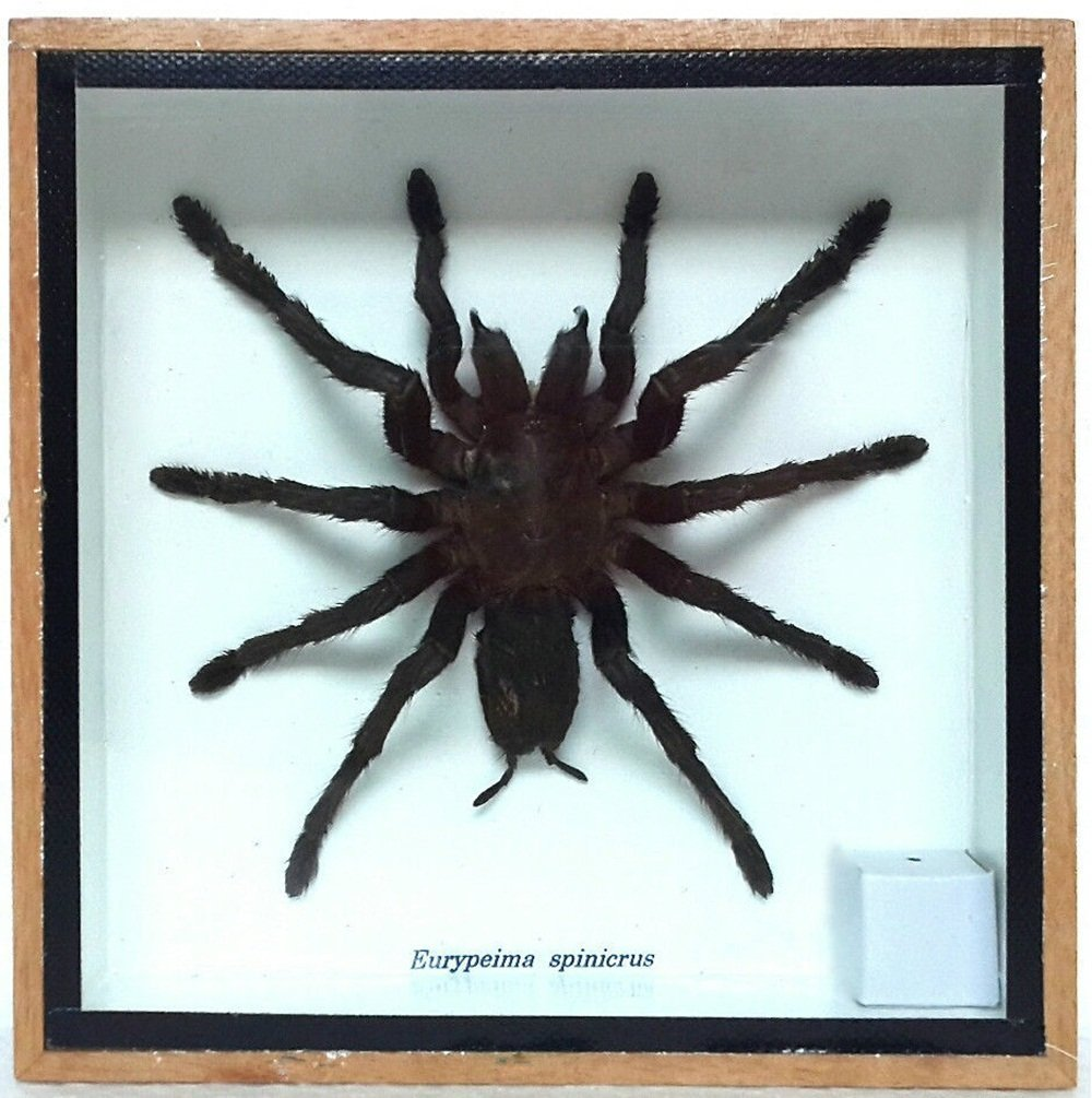 Angelwing Real Spider Tarantula Taxidermy Mounted Specimen Insect Framed Insect Eurypeima Entomology