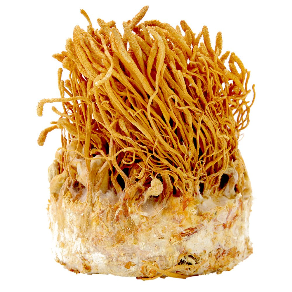Imperial Silk Cordyceps, Raw Cordyceps Militaris, QTY:3 - 45 Gram Containers (135 Gram Total)
