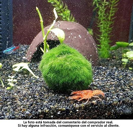 angju - Bolas de musgo para acuario, estéticamente hermosas, para plantas vivas, bola de musgo ecológica, adorno para pecera, camarones, caracoles, ...