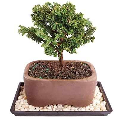 """Brussel's Live Dwarf Hinoki Cypress Outdoor Bonsai Tree - 5 Years Old; 6"""" to 10"""" Tall with Decorative Container, Humidity Tray & Deco Rock: Garden & Outdoor"""