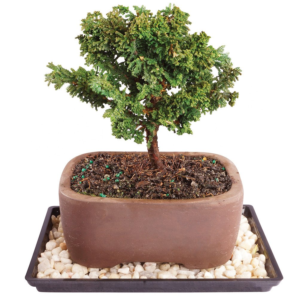 Brussel's Live Dwarf Hinoki Cypress Outdoor Bonsai Tree - 5 Years Old; 6'' to 10'' Tall with Decorative Container, Humidity Tray & Deco Rock