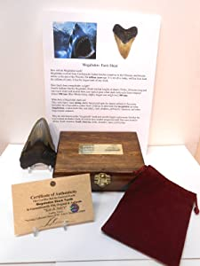 Genuine Huge Megalodon Fossil Shark Tooth in Collector's Heirloom Chest with Display Stand, Velvet Pouch, Fact Sheet & COA