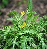 Rucola selvatica/Wilde Rauke (Diplotaxis tenuifolia)  500 Samen